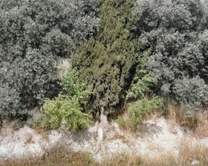 Cypress and Olives, Galilee, 2013