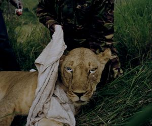 lioness # III, lewa conservancy, northern kenya-from the series 'with butterflies and warriors'-David Chancellor