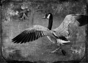 © Dianne Yudelson Canadian Goose