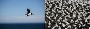 Puffin in flight, Puffin Rock, Elliston; Northern Gannets, Cape St. Mary's Ecological Reserve