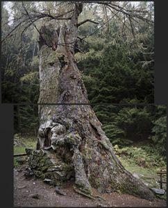 Larix Decidua. about 2200 yrs.