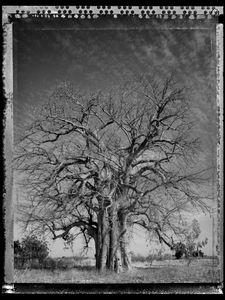 Baobab 07 Mali 2008 © Elaine Ling