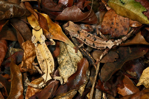Brookesia decaryi male and female sit in perfect camouflage in the leaf litter of a dry forest in Ankarafantsika National Park, Madagascar, 26 November 2015.