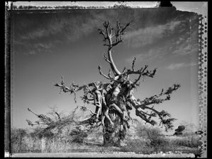 Baobab 04 Mali 2008 © Elaine Ling