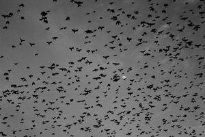 A flock of crows cover the Jesu island sky.