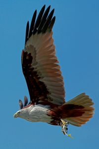 BRAHMINY KITE WITH FISH