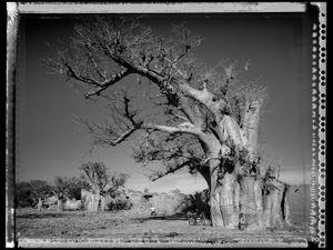 Baobab 01 Mali 2008 © Elaine Ling