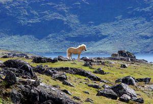 Icelandic Horse in South Greenland - © Adel Korkor
