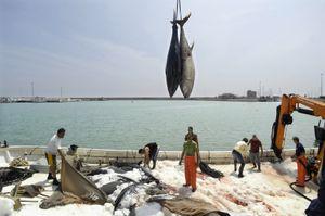 Bluefin tuna catch