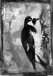 © Dianne Yudelson Acorn Woodpecker