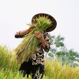 Rice Harvesting from Home Work © Tessa Bunney