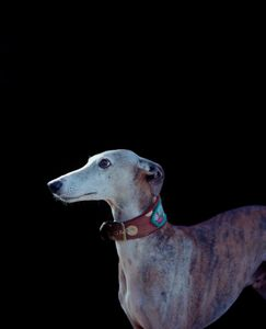 "Greyhound. From the exhibition ""Kainuu"" © Jussi Sarkilahti"
