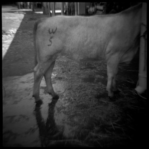 Cow with Brand, Sacramento, CA