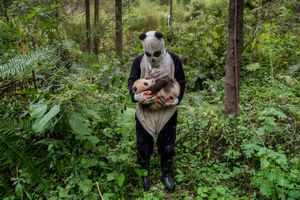 """""""Is a panda cub fooled by a panda suit? That's the hope at Wolong's Hetaoping center, where captive-bred bears training for life in the wild are kept relatively sheltered from human contact, even during a rare hands-on checkup"""". From the Series """"Pandas gone wild"""". Seen by few, but beloved by billions, the giant pandais one of the most recognized animals on the planet."""