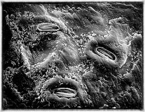 Garry Oak Stomata Detail
