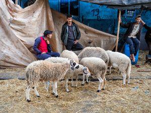 Sheep sellers at the medina