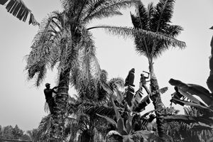 Palm tree cutters 2