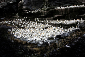 A large colony of Northern Gannet (Sula Bassana) on the cliffs of Noss.