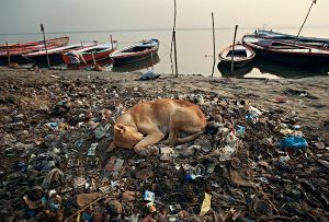 Varanasi, India:  The dog feels safe and content on top of a pile of warm rubbish alongside the river Ganges. © Matjaz Krivic