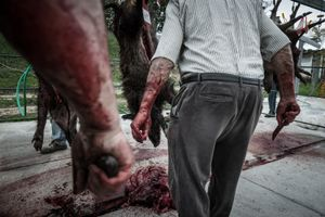 Field dressing the wild boar with sharp knives. © Antonio Pedrosa