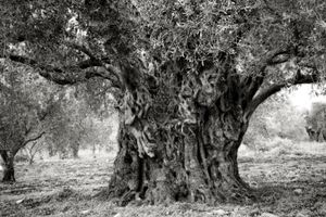 Zalmon Olive Trees
