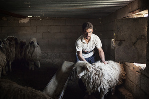 Saif prepares a sheep for clipping. 28/04/15.