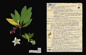 Family: Rosaceae. (Oemleria cerasiformis) Osoberry