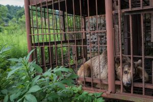 Sukhumi, Abkhazia. A Caucasian bear is kept captive to entertain the tourists of an road side restaurant© Petrut Calinescu