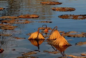 Lotus lake - the last autumn weekend