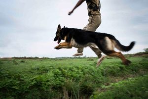 A practice drill takes place outside NTCD campus to train the dogs for unfamiliar terrains.