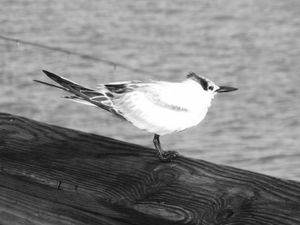 Cute little Bird at Naples' Pier, Florida