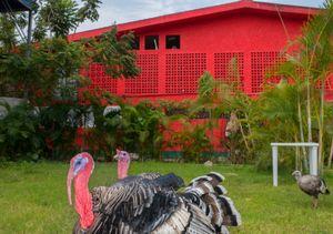 Turkeys in a backyard Ixtapa.