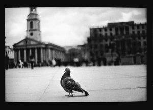 Untitled (Pigeon Trafalgar Square), 2013