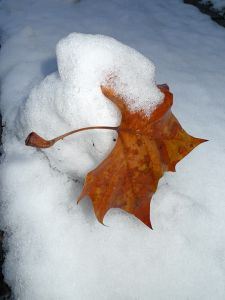 Snow Leaf © Maria L. Felixmueller