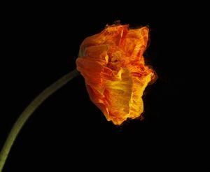 RED POPPY [Ignis Ubinanae] Flower with fiery plasma