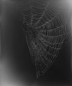 11.	Web Study #5. Unique gelatin silver photogram. 24x20 inches, 2013