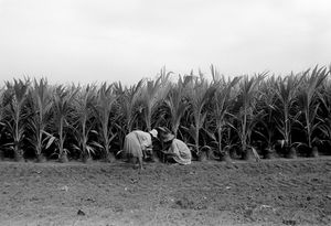 """Coco Plantation Workers"" 1993"