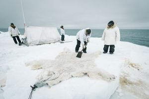 Members of Yugu crew clean the hide of an eight foot nanuq, or polar bear, shot while defending camp. Starving and desperate, it stalked into the whaling camp, 15 yards away from members of the crew and photographer Kiliii Yuyan. Some Iñupiat believe declining sea ice is responsible for starving bears and their increased desperation in recent years.