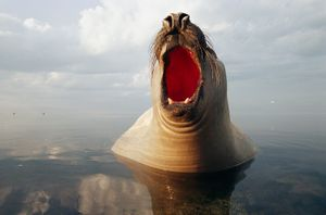 A southern elephant seal barks loudly as it breaks the water's surface.  The largest of all seals at up to 8,800 pounds, it gets its name from having a truck-like snout. Point Henry, Victoria, Australia, 2004 © Jason Edwards, National Geographic