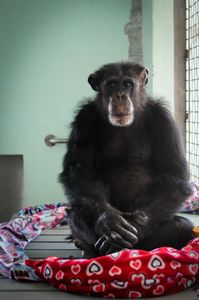 Ron at Save the Chimps - USA