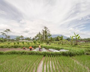 Rice and chilli fields in Krinjing Village, Magelang, Central Java