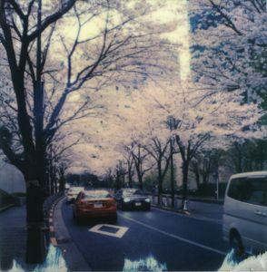 Tokyo Cherry Blossoms 2