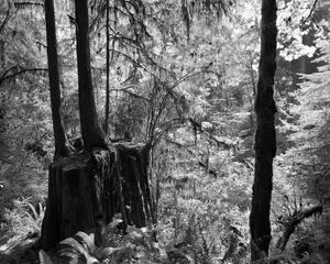 "From the series ""Redwood Saw"""