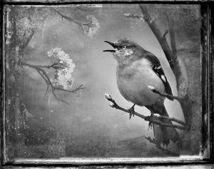 © Dianne Yudelson Mockingbird