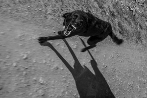 el lobo / the wolf