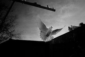 White pigeon / Russia, Samara, 2013