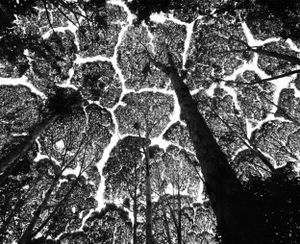 "Kepong Forest Reserve. Crown shyness in the ""kapur"" tree (Dryobalanops aromatica), one of the dipterocarps that, as they mature in the forest, develop mutual avoidance. Malaysia. 1997."