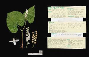 Family: Geraniaceae. (Geranium robertianum) Herb Robert