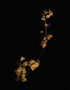 Fall wisteria