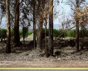 Readout, Eucalyptuses, Hula Swamp (dry), 2012